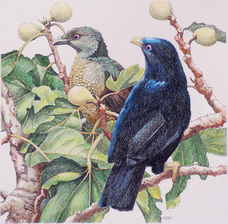 Satin Bowerbirds 33 x33