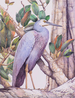 White-faced Heron in Fig Tree 32 x 42