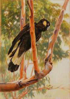 Yellow-tailed black Cockatoo 31 x 48
